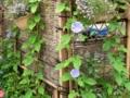 竹垣とアサガオ