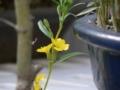 ヒナマツヨイグサ アカバナ科 マツヨイグサ属