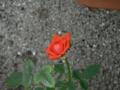 (情熱の)真っ赤なバラ