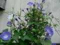咲きそびれた西洋アサガオ