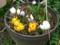 クロッカスの鉢植え