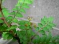 サンショウの雄花