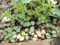 アオジソの芽