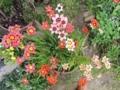 スパラキシス花盛り