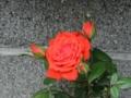 情熱の真っ赤なバラ