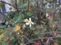 ジューンベリーの花:狂い咲き