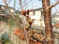 サクラの花芽