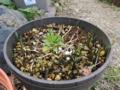 原種系チューリップの芽と生き残っているペチュニア
