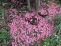 サザンカの花びら