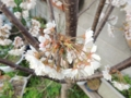 暖地桜満開
