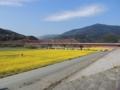赤橋の菜の花畑