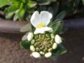 イベリス開花