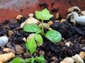 サンショウの芽