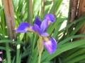 アヤメの花