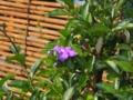 ニオイバンマツリ ナス科ブルンフェルシア属
