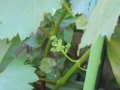 ブドウの蕾