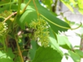 デラウェアの花