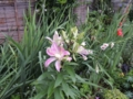 房咲きのユリ ファビオラ