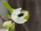 ワイヤープランツの花、その1