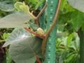 キウイフルーツの新芽