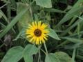ヒワマリ開花