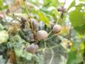 ヤマイモのムカゴ