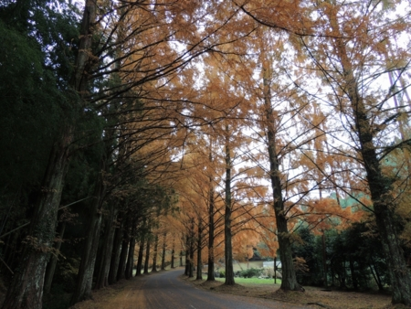 セコイア並木