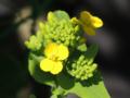 青梗菜の花