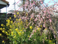 枝垂れ梅と菜の花