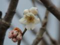 サクラ(暖地)開花