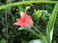 チューリップ 一番開花