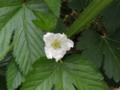 ラズベリー バラ科キイチゴ属