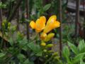 フリージア開花