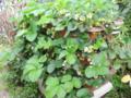 イチゴ バラ科オランダイチゴ属