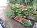 多段プランター式石垣イチゴ