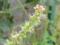 ホウレンソウの雄花
