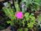 アッツザクラ(ロードヒポキシス)キンバイザサ科ロードヒポキシス属