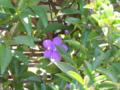 ニオイバンマツリ(アメリカジャスミン)ナス科ブルンフェルシア属