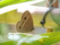 チョウ目(鱗翅目)タテハチョウ科ジャノメチョウ亜科