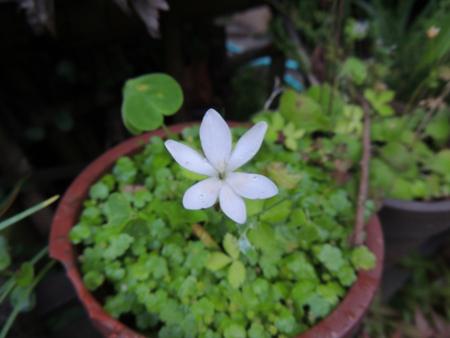 ヒメヒオウギ アヤメ科アノマテカ属 白花