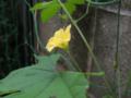 ツルレイシ ウリ科ツルレイシ属 雄花