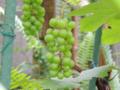 ブドウ ブドウ科ブドウ属