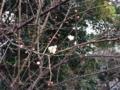 椿神社の白梅開花