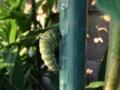 蛹化中のアゲハ?