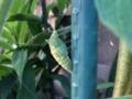 蛹化中のアゲハ