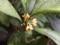 キンモクセイ開花