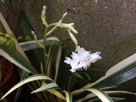 シャガ開花