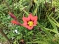 スパラキシス開花