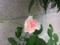 マチルダさん開花