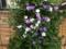 ニオイバンマツリ(アメリカジャスミン)開花。